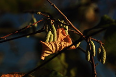Catkin Cuddle (Biscuits1960) Tags: catkins leaf orange green bush tree autumn winter bedtime