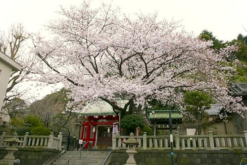 元町厳島神社の桜