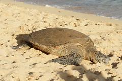 Poipu Beach Park - sea turtle 5 (Journey of A Thousand Miles) Tags: seascape hawaii kauai 2012 poipubeachpark