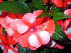its rainy outside ... (RenateEurope) Tags: flowers closeup flora nikon redwhite coolpix raining 2012 fleissige lieschen s8000