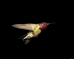 Male Anna's Hummingbird 007 (Pat Durkin - Orange County, CA) Tags: flight wing hover bif maleannashummingbird backyardhummingbird