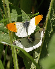 Caught in the act (Mr Grimesdale) Tags: butterfly mating orangetip orangetipbutterfly butterfliesmating stevewallace britishbutterflies mrgrimesdale elitebug maleandfemaleorangetip