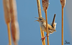 Singing Marsh Wren - 4896b+sg (teagden) Tags: bird birds reeds photography spring call singing wildlife idaho cattails sing marsh wren calling avian marshwren wildlifephotography jenniferhall