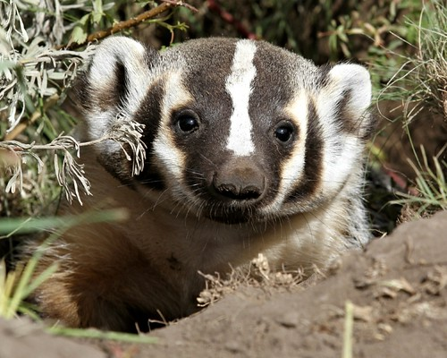 A badger peeking out of it's den.