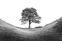 Sycamore Gap. (Ian McWilliams.) Tags: tree northumberland hadrianswall sycamoregap robinhoodstree peopleography