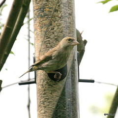 young greenfinch (Muddy_B) Tags: bird garden greenfinch