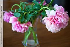 Pink peonies - {Pivoines} (Scrumptious Venus) Tags: vase romantic floraldesign pinkpeonies lespritsudmagazine wwwlespritsudmagazinecom