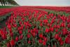 DSC08986 (Paulemans) Tags: sony a99 sal20f28 red tulips netherlands paulemans paulderoode
