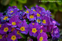 Spring Flowers #2 (Holly Card Photography) Tags: flowers blue red garden spring purple