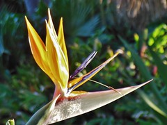 Laughing Bird of Paradise (mikecogh) Tags: plant laughing spectacular birdofparadise olympicpark showy