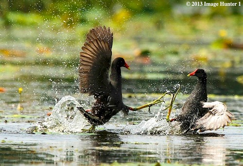 Common Moorhen Fight - Miller