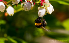 Bumbelbee on Blueberry (schreiberle) Tags: summer macro blueberry bumbelbee