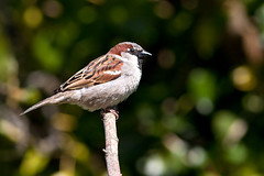 Sparrow_4831 (rkcphotos) Tags: birds canon sparrow 300f4