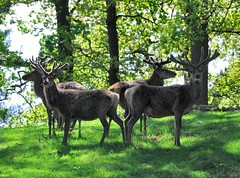 Stags (kev747) Tags: england leicestershire wildlife deer reddeer midlands stags bradgatepark bradgate eastmidlands