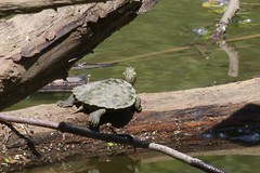 Northern Map Turtle - Graptemys geographica - Hamilton County, Ohio, USA - May 24, 2013 (mango verde) Tags: ohio usa turtle graptemys hamiltoncounty geographica emydidae graptemysgeographica mapturtle northernmapturtle pondturtles magrishriverlandspreserve
