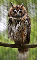 Striped owl (Wildlife Online) Tags: andover raptor owl birdofprey stripedowl pseudoscopsclamator hawkconservancy brownowl marcbaldwin wildlifeonline