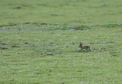 Young bunny (shama rama) Tags: bunny rabbits minsmere rspb