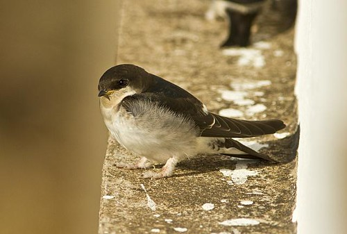 Young Red Rumped Swallow