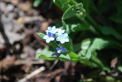 Forget Me Not (Danielle Carrier) Tags: forgetmenot sungarden slidegarden sungardens