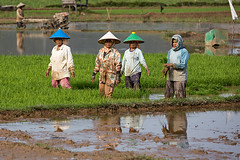 Working women in the rice fields of West Sumatra, Indonesia. (cookiesound) Tags: sumatra indonesia women asia working worker farmer ricefield ricefields westsumatra workinginricefield wokringonfields