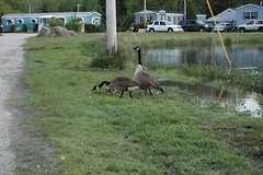 2007 Canadian Geese_27 (a1lightguy2) Tags: bird birds geese wildlife canadiangeese