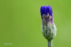 Damned (Ramen Saha) Tags: flower cornflower bachelorsbutton centaureacyanus involucre phyllaries ramensaha involucrebracts