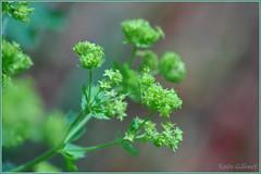 Lady's mantle (KatyMag) Tags: flower green odt mollis alchemillamollis ladysmantle greenflower