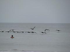 Pelican formation (horses merci) Tags: ocean beach water island waves afternoon head south tide low hilton atlantic carolina