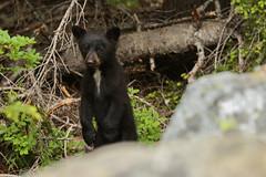 Bears-14 (writingfroggie) Tags: mountain mountains cute forest mom washington mountrainier rainier pacificnorthwest cubs washingtonstate mommabear photocontesttnc13 adorableforestmountrainiermountainmountainspacificnorthwestrainierwashingtonwashingtonstate