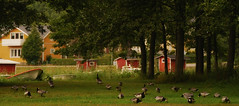 Jeez how many geese! (Basse911) Tags: trees summer house green grass suomi finland geese hanko nordic sommar kesä barnaclegeese hangö vitkindadegäss kappelisatama chapelharbour kapellhamnen fishingsheds valkoposkihanhia