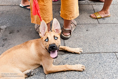 Perro zombie (alewomon) Tags: dog pet pets animal animals mixed husky shepherd perro german animales siberian pastor doggie mascotas perrito cruce aleman perrete