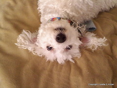122910 Benjy Upside Down (Peachhead (5,000,000 views!)) Tags: family dog chien pet white cute cane hond perro hund poodle spoiled benjy furbaby caniche miniaturepoodle