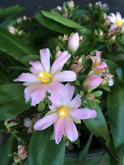 Pereskiopsis rotundifolia (Rose Cactus) (woodwardia) Tags: rotundifolia pereskiopsis
