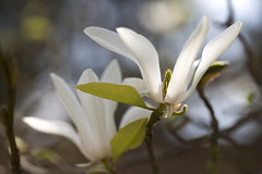magnolia in the sun (Cranswick852) Tags: flowers white flower canon alnwick magnolia canon5d alnwickgardens 6541 canon5dmkiii canon5dmk3 ef100mmf28lmacroisusm