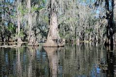 Clear Lake -6300 (MSMcCarthy Photography) Tags: nikon louisiana clearlake swamp spanishmoss cypress cypresstrees louisianaswamp mansfieldla msmccarthyphotography
