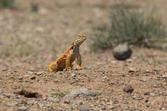Moroccan Spiny-tailed Agama, Uromastyx acanthinurus (Baractus) Tags: john birding lizard morocco tours dab moroccan oates baha agama uromastyx spinytailed acanthinurus gayuin