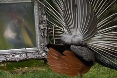 Paon côté pile ! Et dans le miroir... c'est moi !                    Peacock reverse side! And in the mirror ... it is me! (Annelise LE BIAN) Tags: orange france sunshine closeup damn animaux oiseaux coth supershot paons alittlebeauty fantasticnaturegroup châteaudurivau