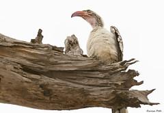 Hornbill @ Chobe (Zsuzsa Poór) Tags: africa bird animal wildlife botswana chobe animalplanet hornbill coth wildlifeafrica canonistas eiap canoneos7d coth5 canonef70200mmf28lisusmii canonextender14xiii