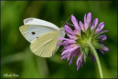 Pieris rapae (alfvet) Tags: macro primavera nature nikon ngc butterflies natura npc insetti farfalle pieridae sigma150 parcodelticino lepidotteri d5200 veterinarifotografi