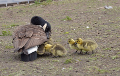 DSC_0120 copia (giuli.flaccomio) Tags: park parco lake see goose gans chicks dusseldorf düsseldorf papera küken pulcini