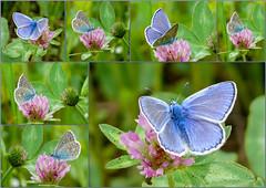 Mini in Blau (sonja_57) Tags: natur blau insekt schmetterling