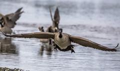 Incoming (Paul Rioux) Tags: nature avian bird birdinflight landing incoming descending flight canada goose wings wingspan outdoor canon ef100400f4556lisiiusm 6d prioux