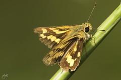 IMG_8557-2 (Jamil-Akhtar) Tags: canon6d tamron 200400 canon500d closeuplens nature macro insect butterfly largeskipper ochlodessylvanus hesperiidae islamabad pakistan