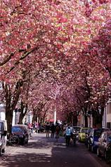 hanami bona (Trofdo Fab) Tags: hanami cherrytree