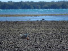 mjc-2016-09-22-IMG_3587 (wiccked) Tags: mangroveheron bittern butoridesstriata mangrovebittern wellingtonpoint kingisland lowtidecauseway