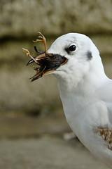 DSC02410 - Black headed Gull (steve R J) Tags: black headed gull kensington gardens london food chick