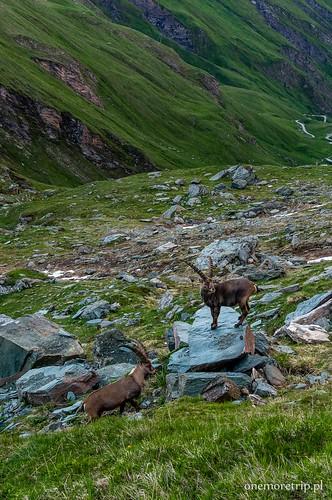 160707-08879-Alpy-Grossglockner-Kozy