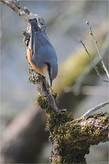 Sittelle torche pot (www.speleophoto.fr) Tags: nature oiseaux cureuil chardonneret fauconplerin sittelle tarin