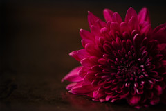 Fit for a Queen (corrine8) Tags: colour deeppink flora flowers rich stilllife dahlia