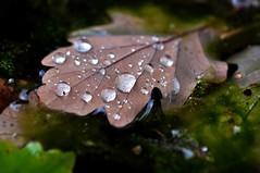 Autumn (inge_rd) Tags: autumn herbst blatt tropfen leaf bokeh smooth nikkor 105 afs waterdrops wassertropfen natur colors brown water wasser
